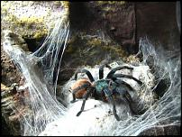 groups/chromatopelma-cyaneopubescens-picture48727-24-02-12-012.JPG