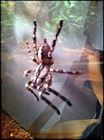 groups/poecilotheria-picture34743-a.jpg