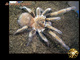 Acanthoscurria antillensis