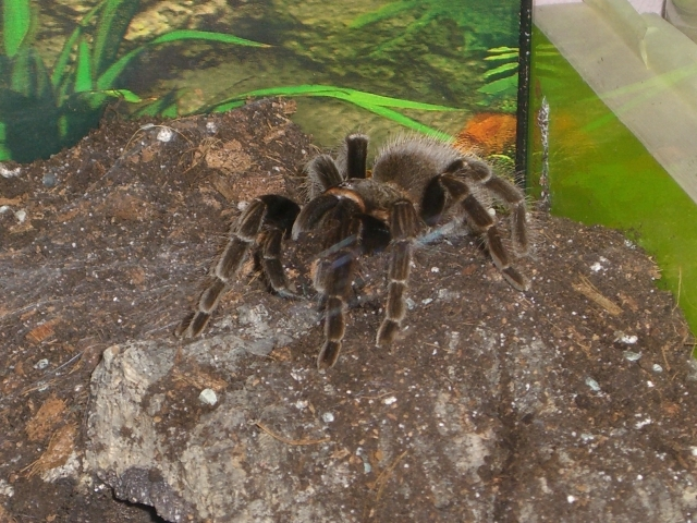 Brachypelma sabulosum